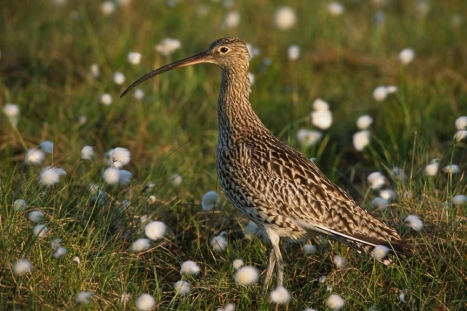 Curlew in Bog Cotton